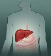 Location of the liver in the body